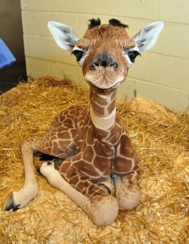baby-giraffe--31582