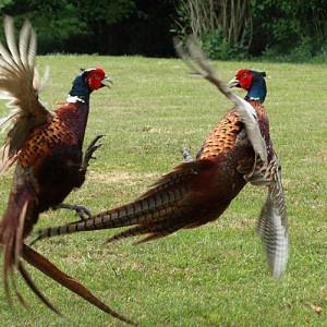 pheasant-7
