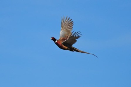 pheasant-flying